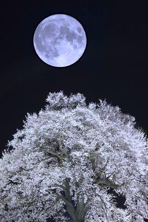Wanizuka at Yamanashi-Pref.: Clear Winter, Cherries Trees, Beautiful Moon, Winter Night, Full Moon, Blue Moon, The Moon, Full Bloom