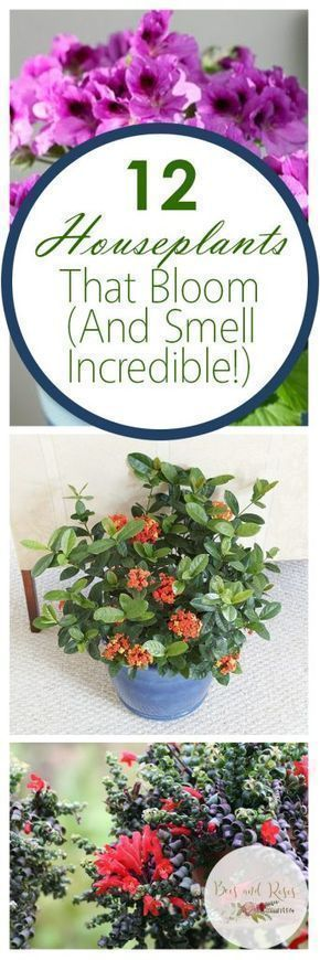 12 Houseplants That Bloom (And Smell Incredible!) | Houseplants That Bloom, Low Maintenance House Plants, Easy to Grow Houseplants, Pretty Houseplants, Indoor Gardening, Indoor Gardening Tips, Indoor Gardening Hacks #houseplantsindoor #indoorgardening #gardeningindoorplants #bloominghouseplants #gardeningtips