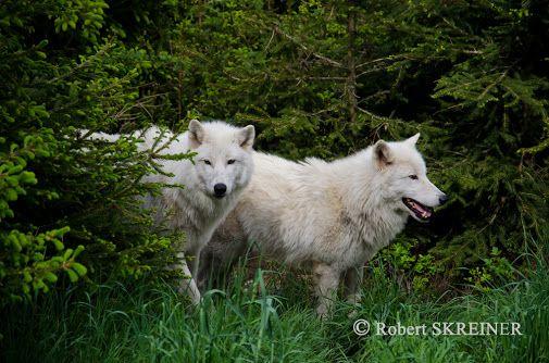 Arctic Wolf (Canis lupus arctos) - Polarwolf Loup arctique - Lupo artico -…