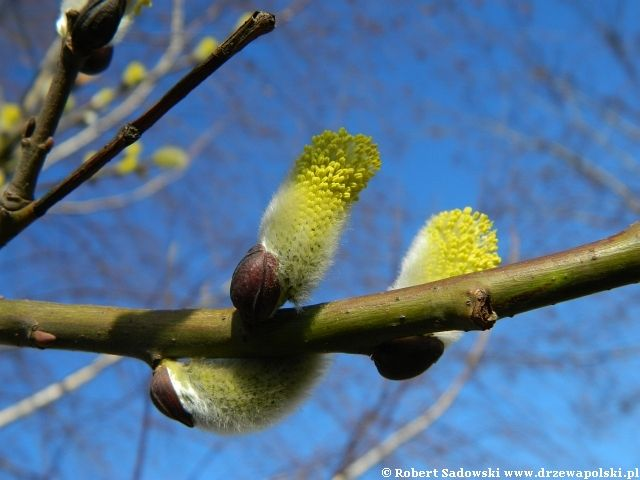 drzewa | Wierzba iwa ( Salix caprea ) - zdjęcia drzewa