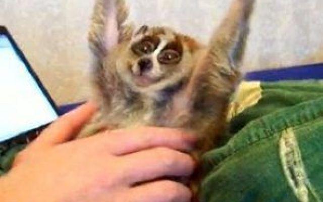 Dolce e curiosi - Il Nycticebus pygmaeus Il manto, corto e folto, va dal bruno-grigiastro al bruno-rossiccio, con una banda scolor nocciola che va dalla nuca al posteriore (non sempre presente). Gli occhi sono grandi ed orientati frontalme