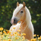 Ako na predaj koní ? Kone sa predávajú z dôvodu nevyužitia pôvodným majiteľom. Dôvodov, prečo sa kone predávajú je veľmi veľa. Kde kúpiť koňa?