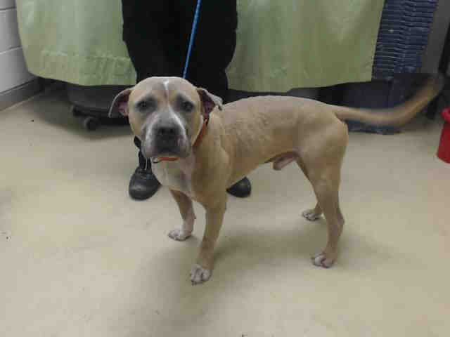 ~05/24/16--HOUSTON- -EXTREMELY HIGH KILL FACILITY - This DOG - ID#A459813 I am a male, brown and white Pit Bull Terrier mix. My age is unknown. I have been at the shelter since May 24, 2016. This information was refreshed 7 minutes ago and may not represent all of the animals at the Harris County Public Health and Environmental Services.