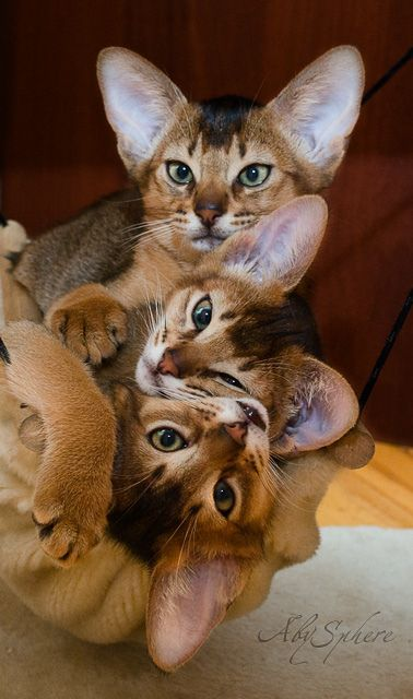 "The Abyssinian ~ is a breed of domestic shorthaired cat with distinctive ""ticked"" tabby coat.   #Cats"