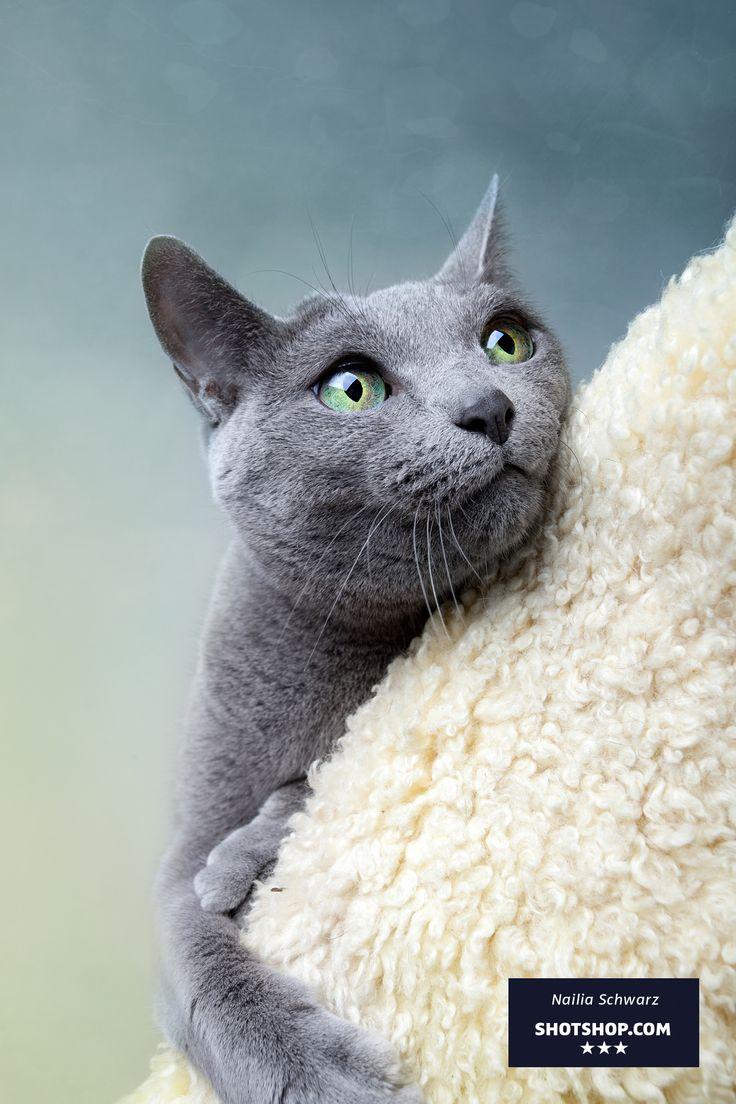 Perplexed Blue Russian cat on cat tree. Photo by Nailia Schwarz.