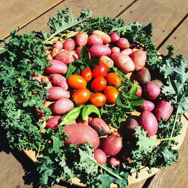 "6 Likes, 1 Comments - Momwisdomweb (@momwisdomweb) on Instagram: ""Harvest of the day.👍😀👏🌿🍃🍅🥔 #mykitchengarden #potatoharvest #tomatoharvest #mintharvest #okraharvest…"""
