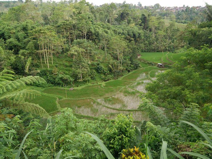 Bali Mountain Rice fields www.samadibali.com