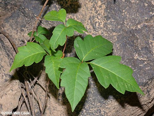 Eastern Poison-Ivy (Toxicodendron radicans) leaves