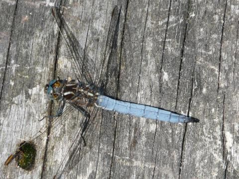 Keeled Skimmer: on an even keel | Nature Notes from Dorset