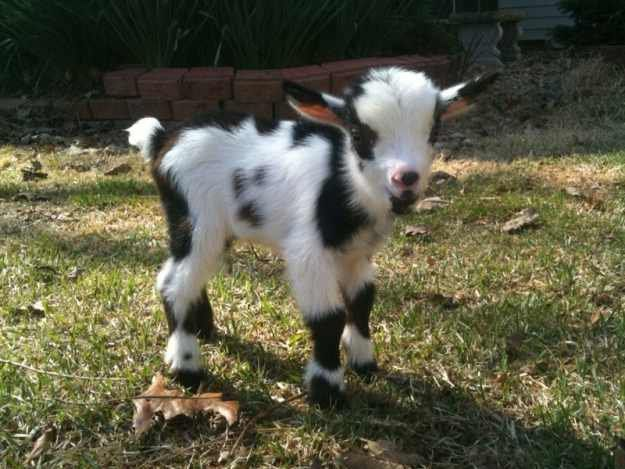 How to Raise a Baby Goat to Grow Up Big & Strong | Homesteading Tips and Ideas for Beginners by Pioneer Settler at http://pioneersettler.com/how-to-raise-a-baby-goat/