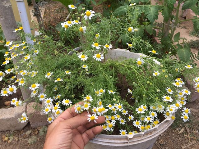 Home And Garden How To Grow Chamomile Chamomile Plant Chamomile Growing Planting Herbs