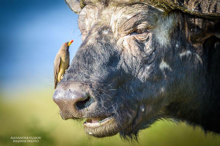 An African Buffalo With Redbilled Oxpeckers - Африканский буйвол с кормящимися на нем буйволовыми скворцами (Buphagus erythrorhynchus). Чобе парк, Ботсвана. Африка 2016.  An African Buffalo With Redbilled Oxpeckers (Buphagus erythrorhynchus). Chobe park, Botswana. Africa 2016