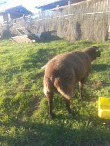 MIL ANUNCIOS.COM - Ovejas . Venta de ovejas de segunda mano . ovejas de ocasión a los mejores precios.