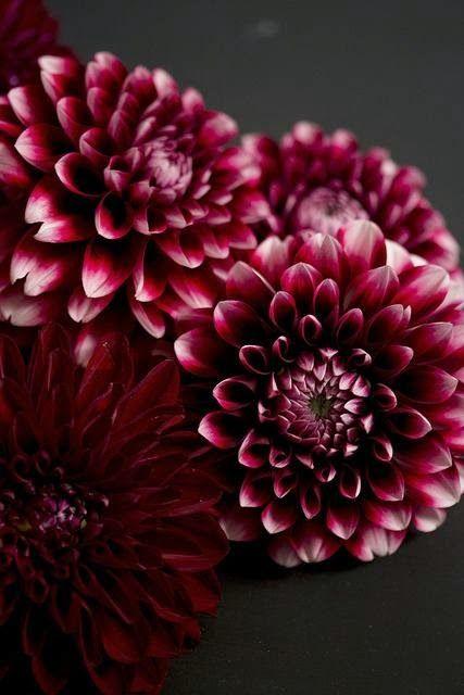 Deep Red Dahlias...I LOVE Dahlias! So pretty and easy to grow.