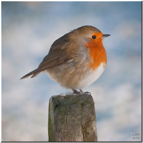 Boule de poils familière, le petit rouge-gorge. / Familiar ball of fluff, the little Robin.