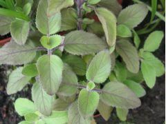 Ocimum sanctum - bazalka posvátná, tulsi Zahradnictví Krulichovi - zahradnictví, květinářství, trvalky, skalničky, bylinky a koření