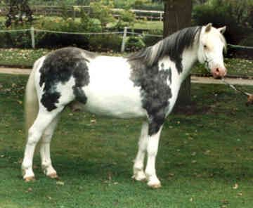 "This pony is labeled on Pinterest as ""Steely Dan, purebred crop-out Welsh pony."" If the white is from one of the Splash genes, then I believe that's possible in Welsh ponies. I can't find any other info about him."