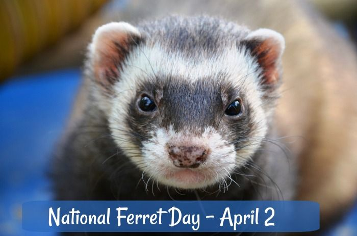 National Ferret Day Is Celebrated Each Year On April 2 Unusual