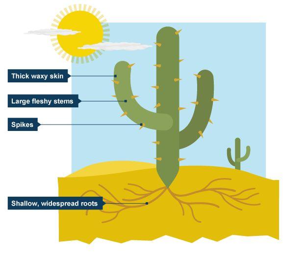 Bbc Bitesize - Ks3 Geography - Desert Biomes