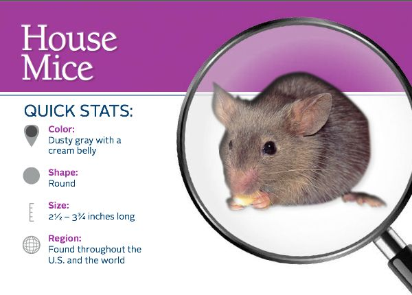 Do You Have A Mouse In The House Learn More About Them