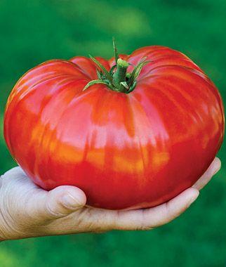 Tomato, SteakHouse HybridSteakhouse Hybrid, Gardens Ideas, Plants Time, Plants Ships, Gardens Gates, Tomatoes Plants, Tomato Plants