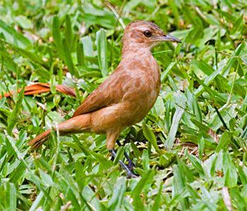 Rufus Hornero - National Bird of Argentina and Uruguay