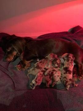 Litter Of 5 Dachshund Puppies For Sale In Fredericksburg Va Adn