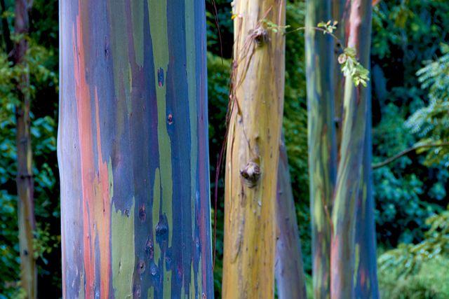 naturally occurring Rainbow Eucalyptus