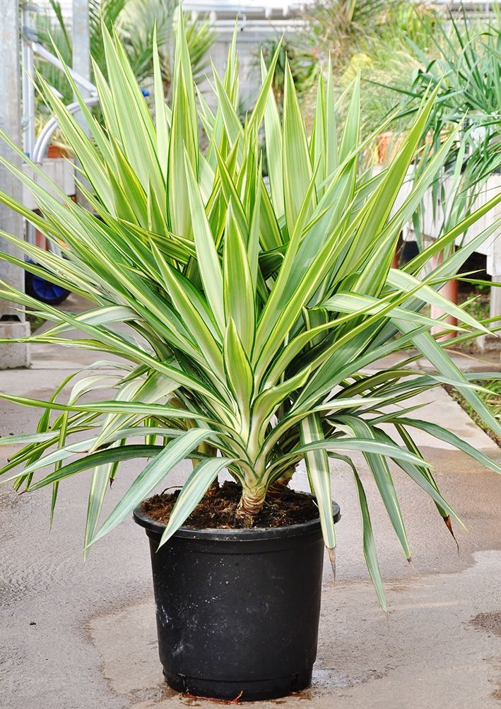 Yuccapalme Riesen Palmlilie Jewel 3er Tuff Palmlilie Lilien