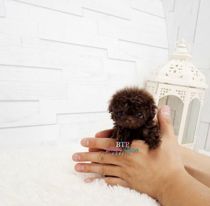 Amazing, adorable, Lil' Mr. Brownie ~ Chocolate, micro- teacup male Poodle #teacupdogslist
