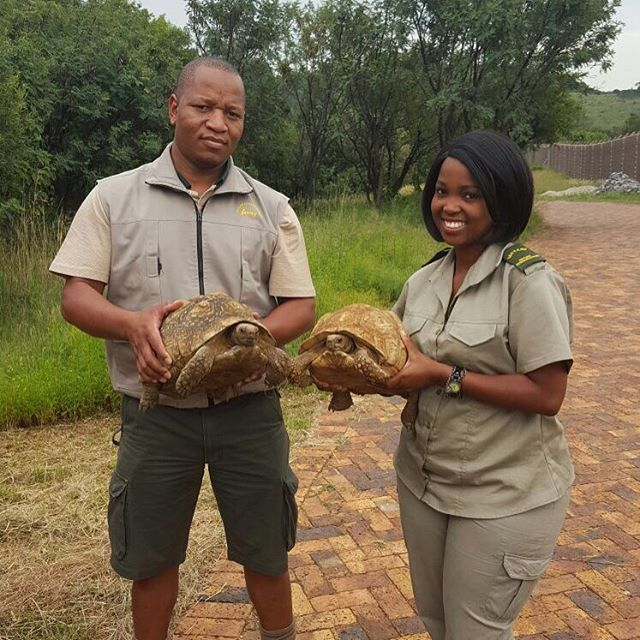 This pair of tortoises spent some time with us whilst Nature Conservancy found them a new home at a rehabilitation centre #NatureConservancy #joburgsgreenheart