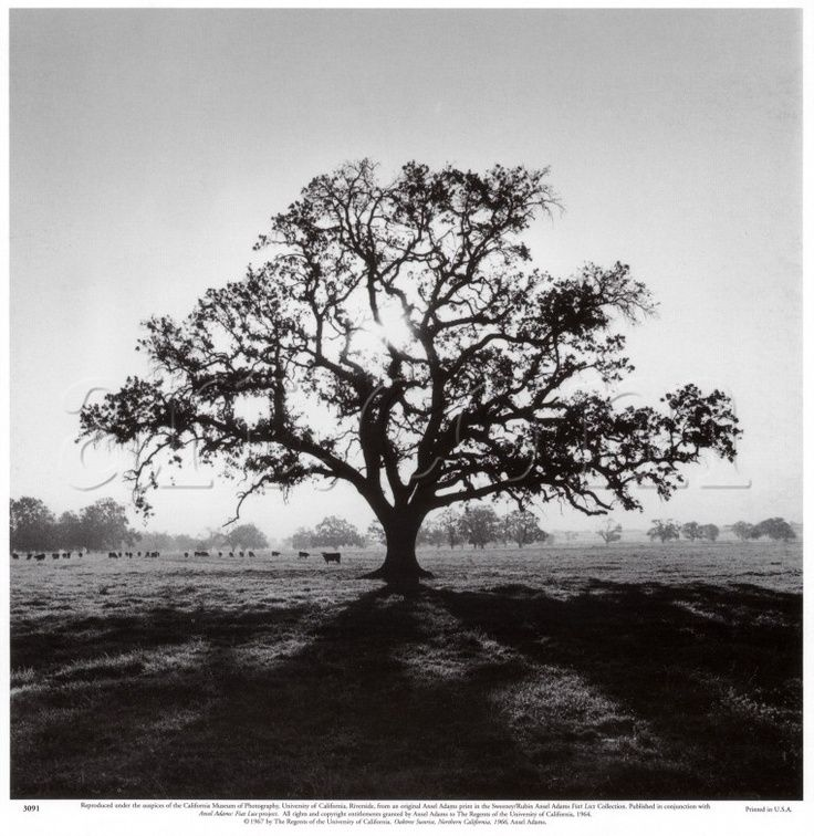 oak tree tattoos | Oak Tree, Sunrise- By Ansel Adams ...