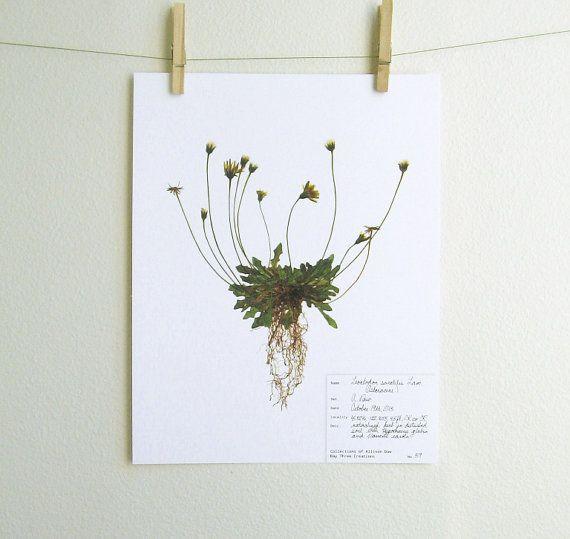 Real Pressed Botanical PRINT, Original Herbarium Specimen Art, Scientific Art, Common Weed Art, Yellow Wildflower, Print of Original