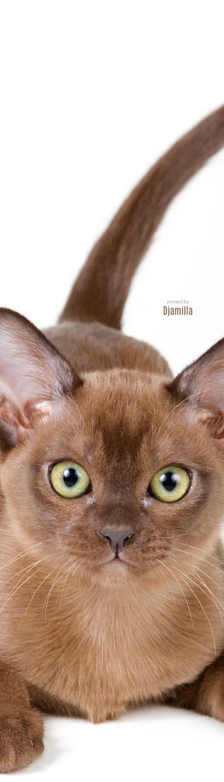Burmese Kitten Ou plutôt un siamois pour les yeux bleus et un Birman ... Pou ma Pin juste avant celle-ci .... ❓