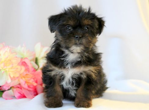 Shorkie Tzu puppy for sale in MOUNT JOY, PA. ADN-52600 on PuppyFinder.com Gender: Female. Age: 8 Weeks Old