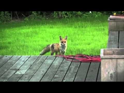 Voici le cri du renard - YouTube