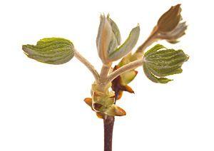 chestnut-bud-fiori-di-bach
