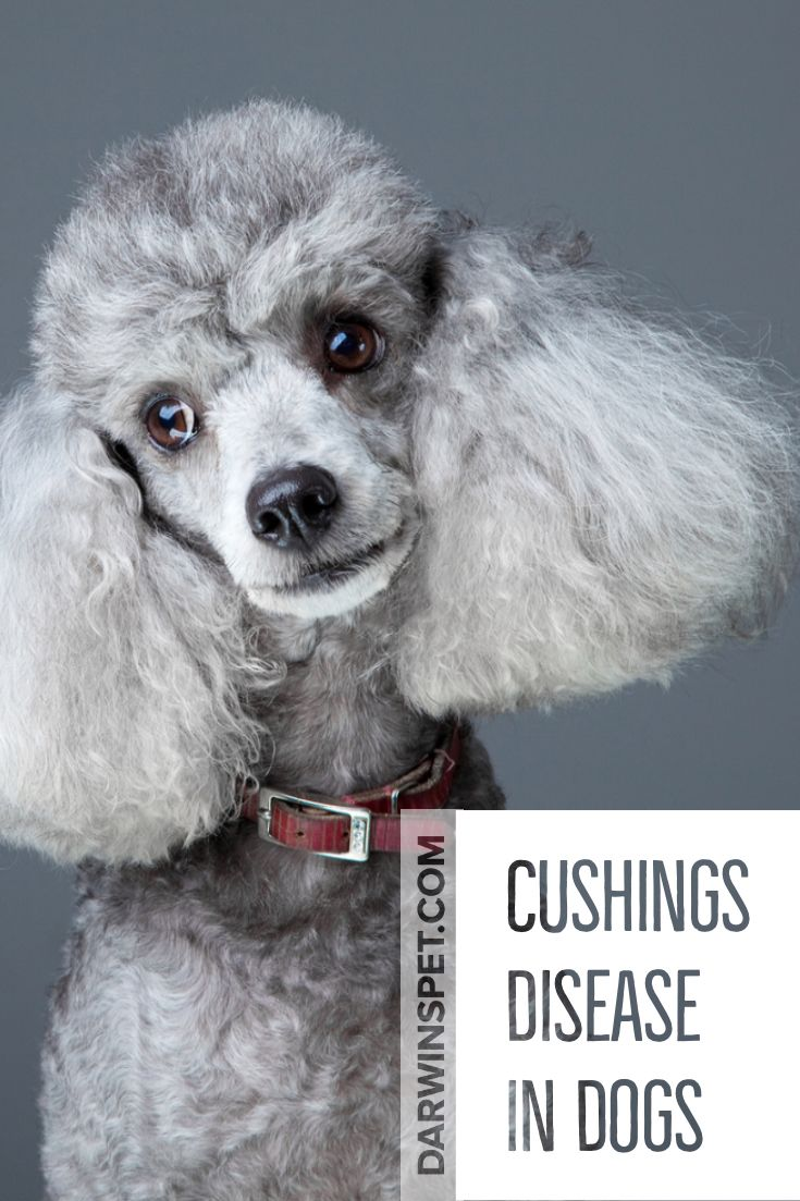 Treating Cushing S Disease In Dogs Diets Natural Remedies And Medicines With Images Cushings