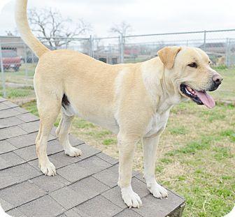 10/29/16-Iola, TX - Labrador Retriever Mix. Meet Buddy, a dog for adoption. http://www.adoptapet.com/pet/15109157-iola-texas-labrador-retriever-mix