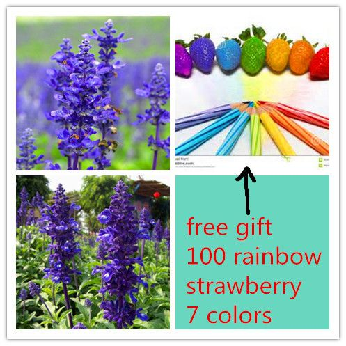 100/bag  france lavender flower seeds send 100 rainbow strawberry seeds  as gift   lavender angustifolia, sementes