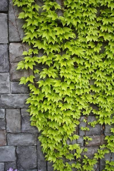 I want to get ivy to grow to cover the neighbor's barn and ugly wall in our backyard