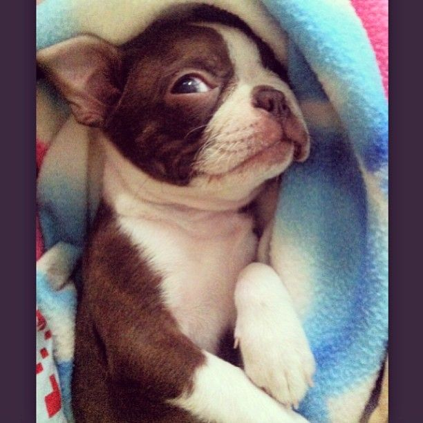 red boston terrier - THIS TOTALLY REMINDS ME OF TITAN!!!