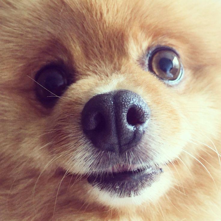 Puppy parts. Closeup cuteness. #pomeranian