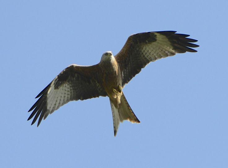 Red kite - Roter Milan (Milvus milvus)