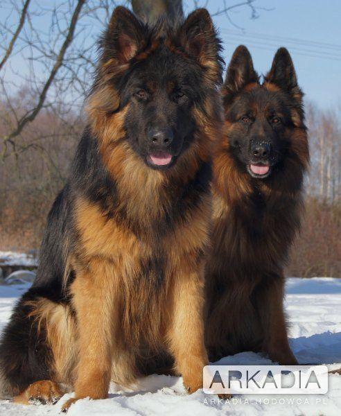 gorgeous German Sheperds