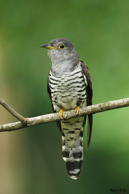Indian Cuckoo (Cuculus micropterus) India and Southeast Asia