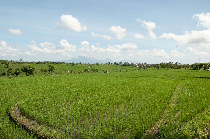 Bali's World Heritage rice-field by UNESCO. #bali #indonesia