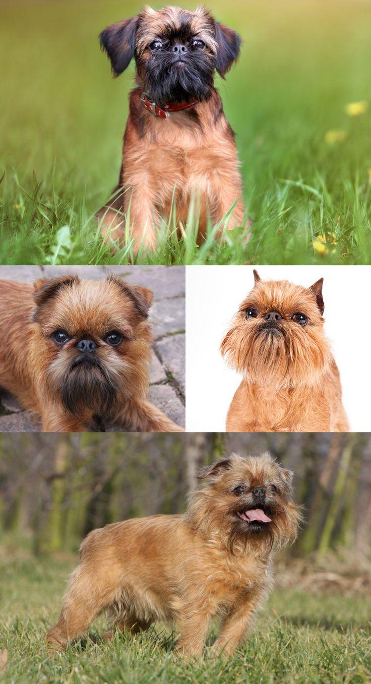 Брюссельский гриффон (Griffon Bruxellois) – бельгийская порода, выведенная в конце 19 века. Это небольшая собака с хорошим характером.