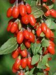 Superpotraviny (superfoods) - GOJI - Goji (godži) - kustovnice čínská (Lycium Chinense), má světle červenou barvu, připomínají směs chutí rozinek, třešní, brusinek a šípku, roste na středně vzrostlých keřích v podhůří Himalájí. Od nepaměti je přirozenou součástí jídelníčku tamních obyvatel, kteří dosahují nejvyšších věkových průměrů na světě.