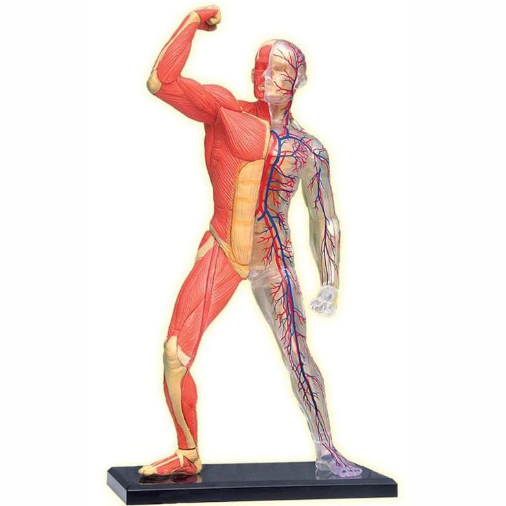 With the educational Human Skeleton & Muscles 4D Anatomy Model your child can assemble and study a toy human skeleton with muscles Manufactured by 4D Puzzle.